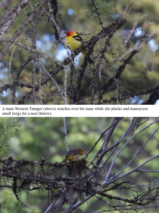 A male Western Tanager (above) watches over his mate while she plucks and maneuvers small twigs for a nest (below).