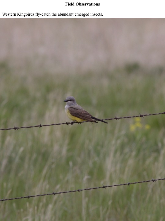 Western Kingbirds fly-catch the abundant emerged insects.