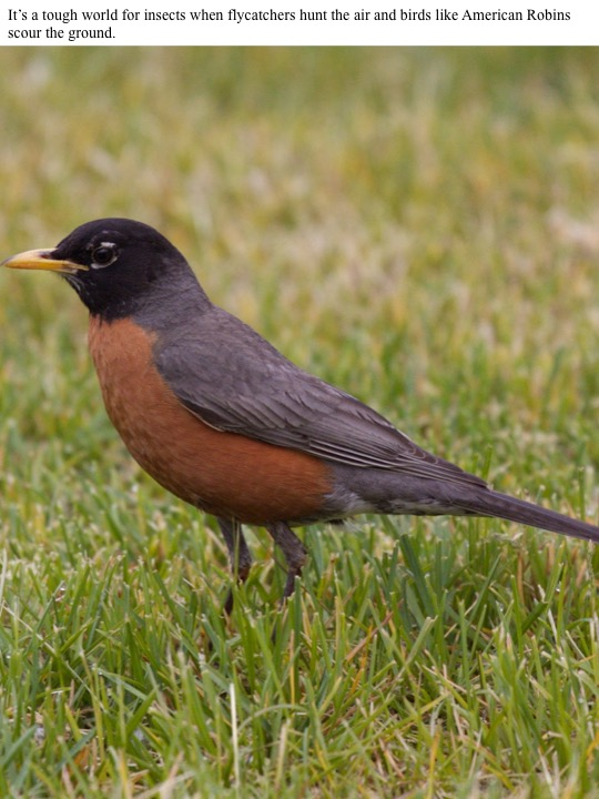 It's a tough world for insects when flycatchers hunt the air and birds like American Robins scour the ground.