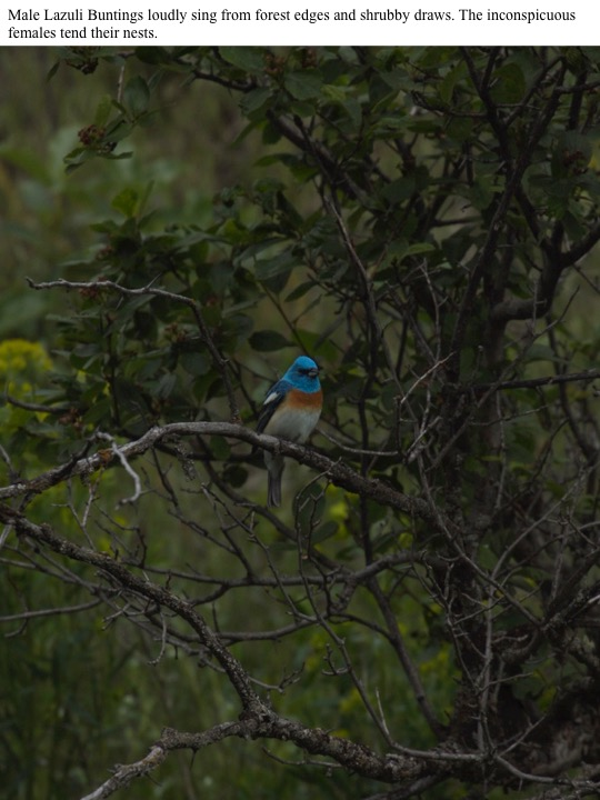 Male Lazuli Buntings loudly sing from forest edges and shrubby draws. The inconspicuous females tend their nests.