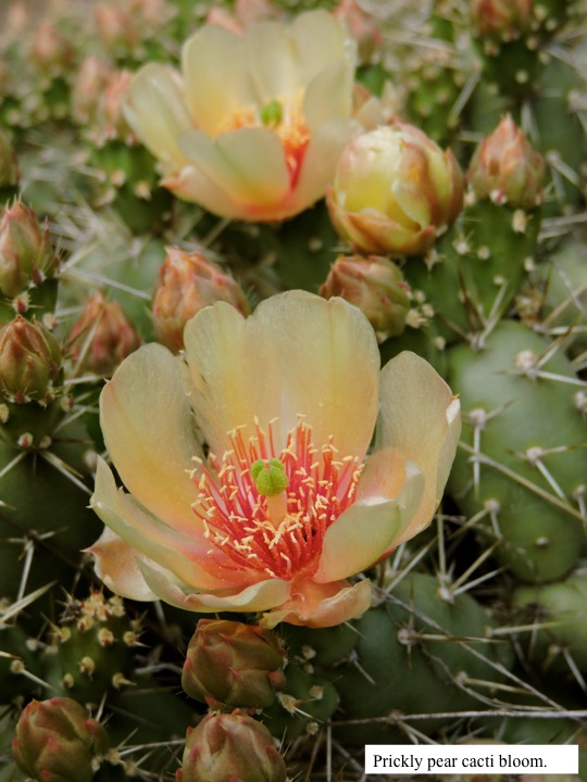 Prickly pear cacti bloom.