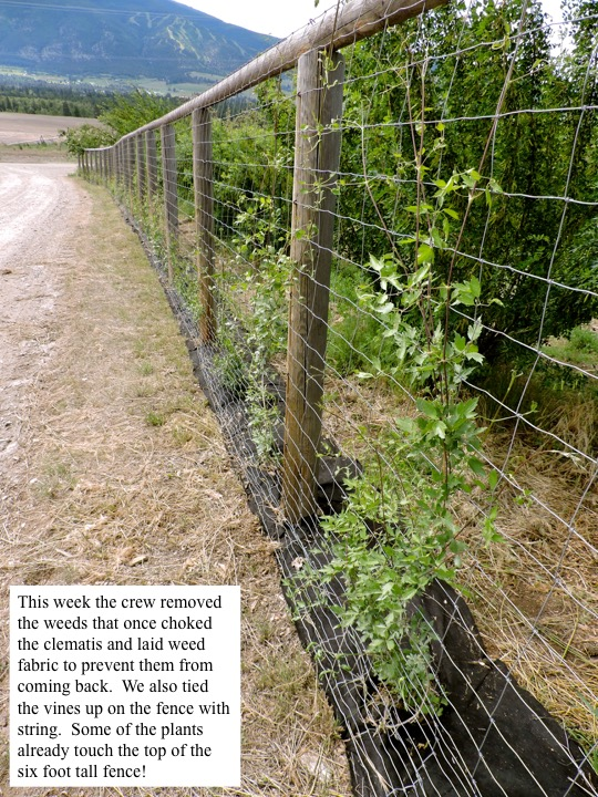 This week the crew removed the weeds that once choked the clematis and laid weed fabric to prevent them from coming back. We also tied the vines up on the fence with string. Some of the plants already touch the top of the six foot tall fence!