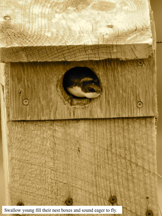 Swallow young fill their nest boxes and sound eager to fly.
