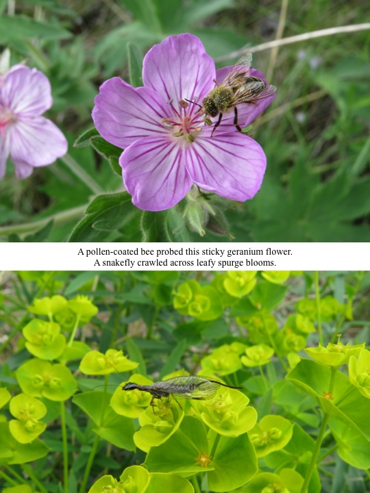 A pollen-coated bee probed this sticky geranium flower. A snakefly crawled across leafy spurge blooms.