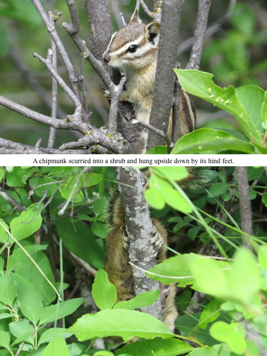 A chipmunk scurried into a shrub and hung upside down by its hind feet.