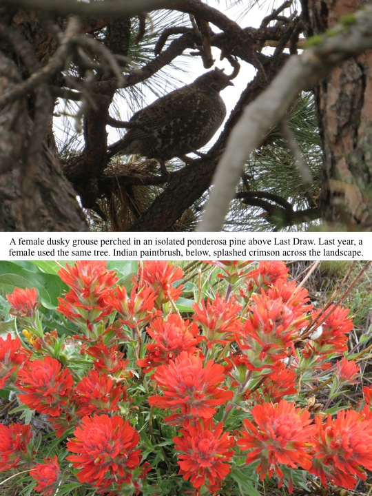 A female dusky grouse perched in an isolated ponderosa pine above Last Draw. Last year, a female used the same tree. Indian paintbrush, below, splashed crimson across the landscape.