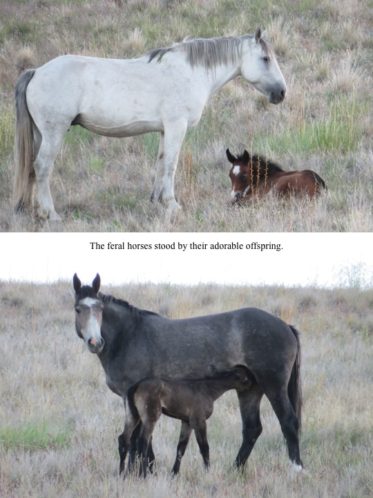 The feral horses stood by their adorable offspring.