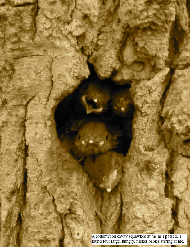 A cottonwood cavity squawked at me as I passed. I found four large, hungry, flicker babies staring at me.