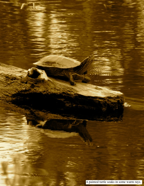 A painted turtle soaks in some warm rays.