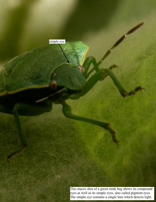This macro shot of a green stink bug shows its compound eyes as well as its simple eyes, also called pigment eyes. The simple eye contains a single lens which detects light.