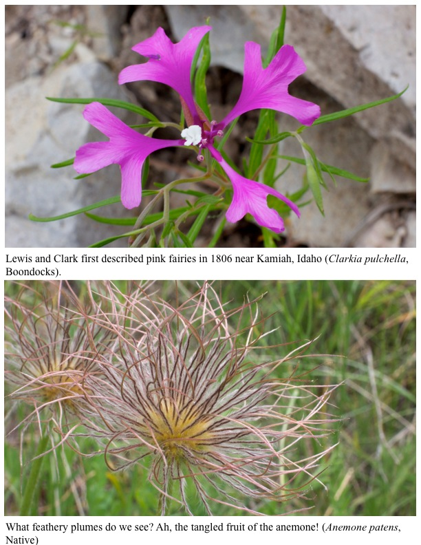 Lewis and Clark first described pink fairies in 1806 near Kamiah, Idaho (Clarkia pulchella, Boondocks). What feathery plumes do we see? Ah, the tangled fruit of the anemone! (Anemone patens, Native)