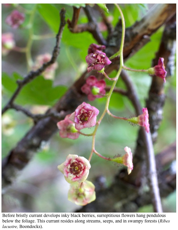 Before bristly currant develops inky black berries, surreptitious flowers hang pendulous below the foliage. This currant resides along streams, seeps, and in swampy forests (Ribes lacustre, Boondocks).