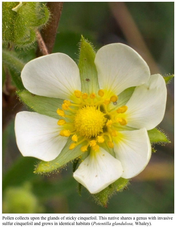 Pollen collects upon the glands of sticky cinquefoil. This native shares a genus with invasive sulfur cinquefoil and grows in identical habitats (Potentilla glandulosa, Whaley).