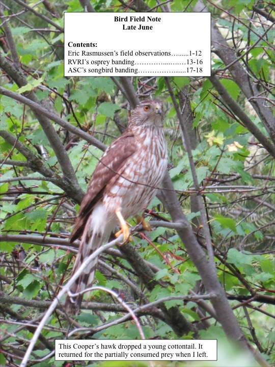 This Cooper's hawk dropped a young cottontail. It returned for the partially consumed prey when I left.