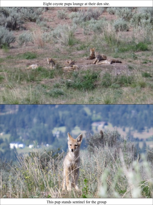 Eight coyote pups lounge at their den site.