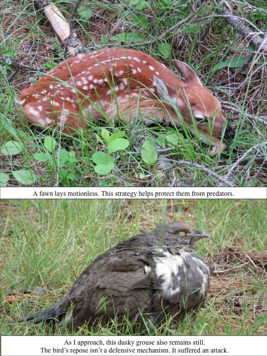 A fawn lays motionless. This strategy helps protect them from predators. As I approach, this dusky grouse also remains still. The bird's repose isn't a defensive mechanism. It suffered an attack.