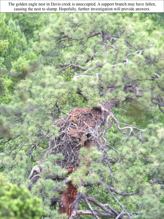 The golden eagle nest in Davis creek is unoccupied. A support branch may have fallen, causing the nest to slump. Hopefully, further investigation will provide answers.