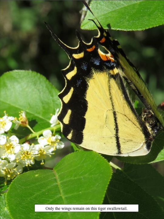 Only the wings remain on this tiger swallowtail.