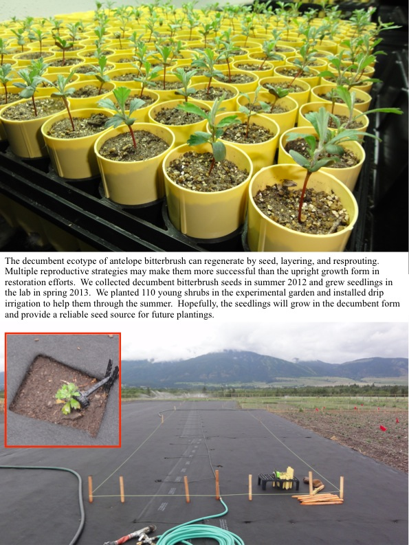 The decumbent ecotype of antelope bitterbrush can regenerate by seed, layering, and resprouting. Multiple reproductive strategies may make them more successful than the upright growth form in restoration efforts. We collected decumbent bitterbrush seeds in summer 2012 and grew seedlings in the lab in spring 2013. We planted 110 young shrubs in the experimental garden and installed drip irrigation to help them through the summer. Hopefully, the seedlings will grow in the decumbent form and provide a reliable seed source for future plantings.