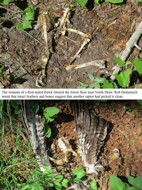 The remains of a Red-tailed Hawk littered the forest floor near North Draw. Rob Domenech noted that intact feathers and bones suggest that another raptor had picked it clean.