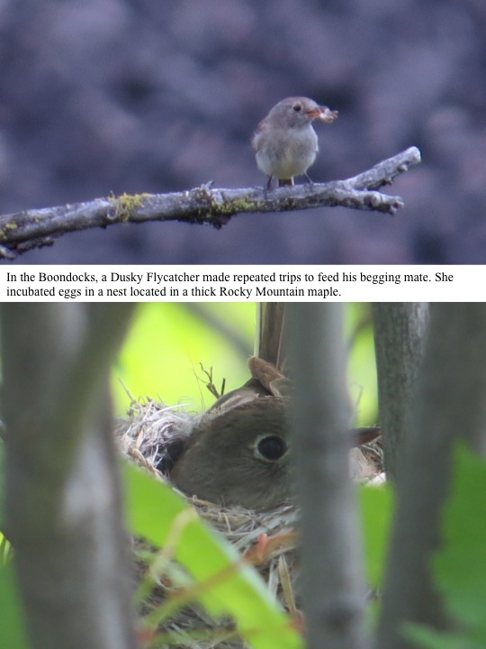 In the Boondocks, a Dusky Flycatcher made repeated trips to feed his begging mate. She incubated eggs in a nest located in a thick Rocky Mountain maple.