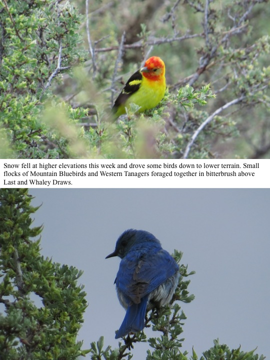 Snow fell at higher elevations this week and drove some birds down to lower terrain. Small flocks of Mountain Bluebirds and Western Tanagers foraged together in bitterbrush above Last and Whaley Draws.