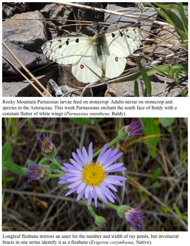 Rocky Mountain Parnassian larvae feed on stonecrop. Adults nectar on stonecrop and species in the Asteraceae. This week Parnassians enchant the south face of Baldy with a constant flutter of white wings (Parnassius smintheus, Baldy).