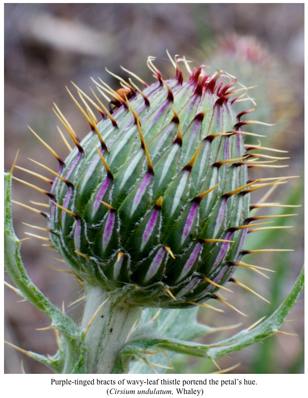 Purple-tinged bracts of wavy-leaf thistle portend the petal's hue. (Cirsium undulatum, Whaley)