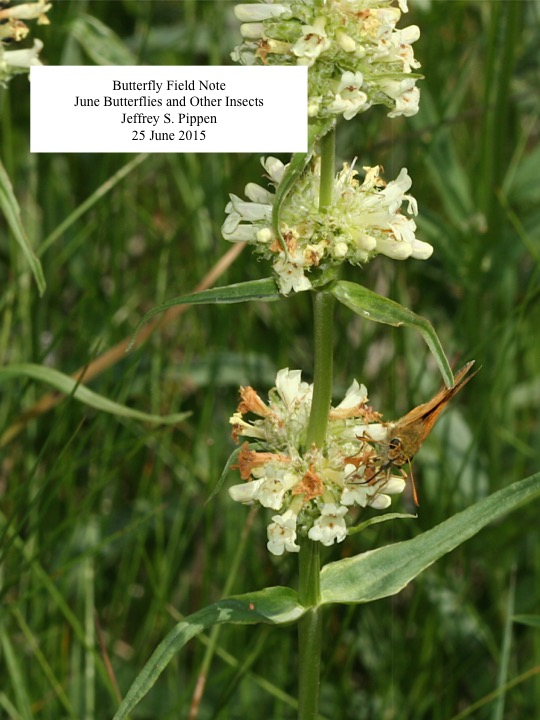 Butterfly Field Note June Butterflies and Other Insects Jeffrey S. Pippen 25 June 2015