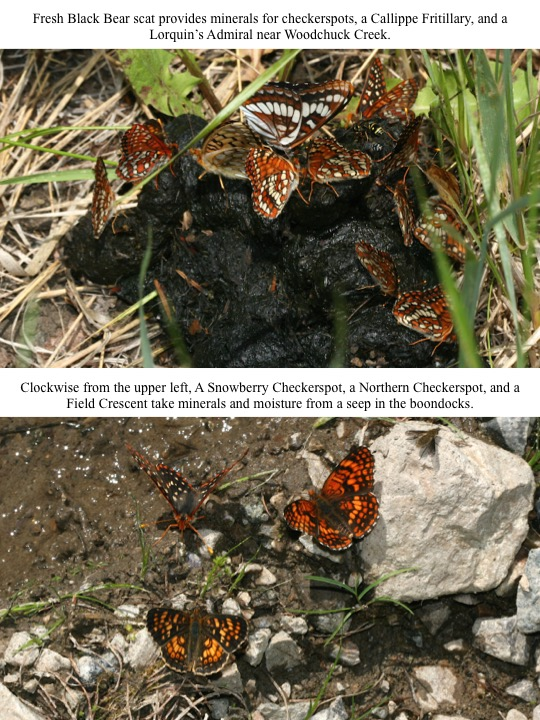 Clockwise from the upper left, A Snowberry Checkerspot, a Northern Checkerspot, and a Field Crescent take minerals and moisture from a seep in the boondocks.