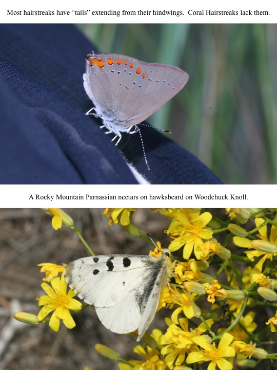 "Most hairstreaks have ""tails"" extending from their hindwings. Coral Hairstreaks lack them."