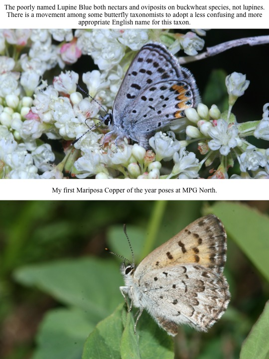The poorly named Lupine Blue both nectars and oviposits on buckwheat species, not lupines. There is a movement among some butterfly taxonomists to adopt a less confusing and more appropriate English name for this taxon.