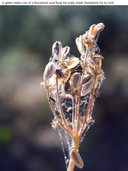 A spider makes use of a biscuitroot seed head for ready-made foundation for its web.