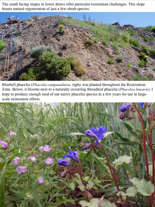 Bluebell phacelia (Phacelia campanularia, right) was planted throughout the Restoration Zone. Below, it blooms next to a naturally occurring threadleaf phacelia (Phacelea linearis). I hope to produce enough seed of our native phacelia species in a few years for use in largescale restoration efforts.