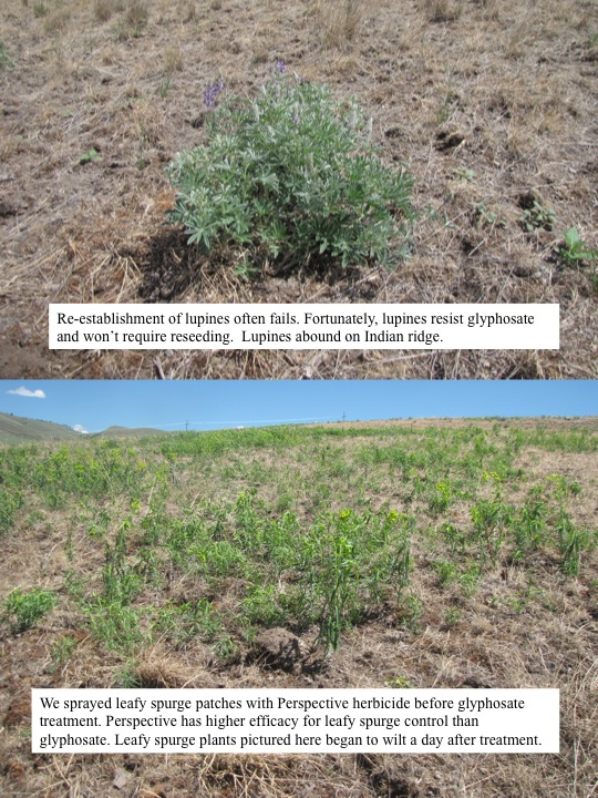We sprayed leafy spurge patches with Perspective herbicide before glyphosate treatment. Perspective has higher efficacy for leafy spurge control than glyphosate. Leafy spurge plants pictured here began to wilt a day after treatment.