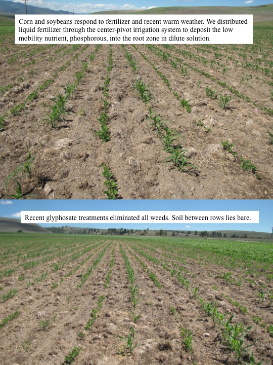 Corn and soybeans respond to fertilizer and recent warm weather. We distributed liquid fertilizer through the center-pivot irrigation system to deposit the low mobility nutrient, phosphorous, into the root zone in dilute solution. Recent glyphosate treatments eliminated all weeds. Soil between rows lies bare.