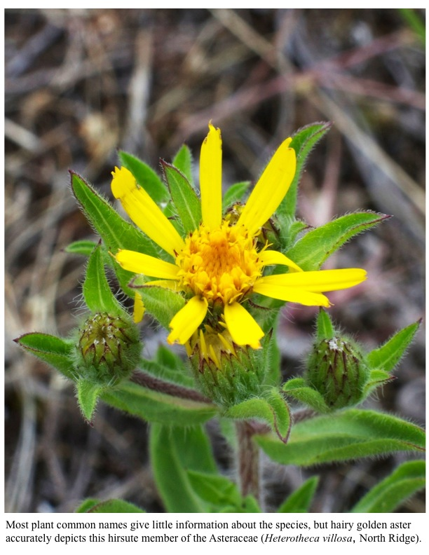 Most plant common names give little information about the species, but hairy golden aster accurately depicts this hirsute member of the Asteraceae (Heterotheca villosa, North Ridge).