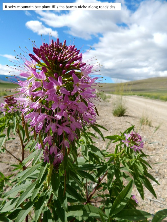 Rocky mountain bee plant fills the barren niche along roadsides.