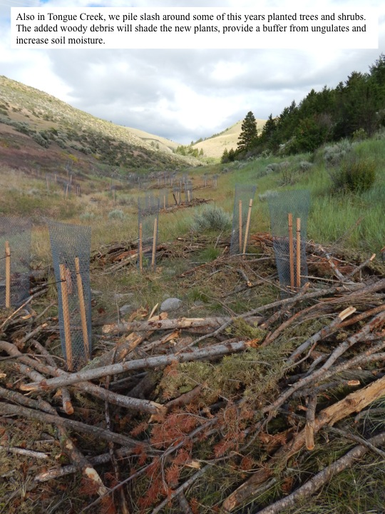 Also in Tongue Creek, we pile slash around some of this years planted trees and shrubs. The added woody debris will shade the new plants, provide a buffer from ungulates and increase soil moisture.