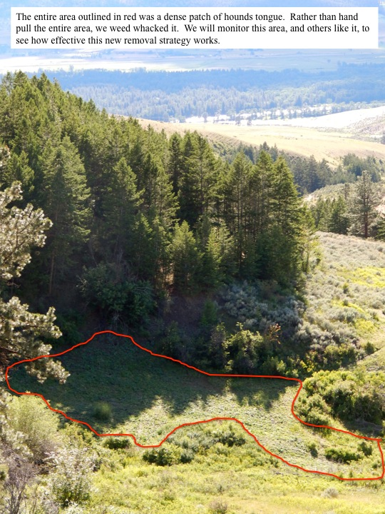 The entire area outlined in red was a dense patch of hounds tongue. Rather than hand pull the entire area, we weed whacked it. We will monitor this area, and others like it, to see how effective this new removal strategy works.