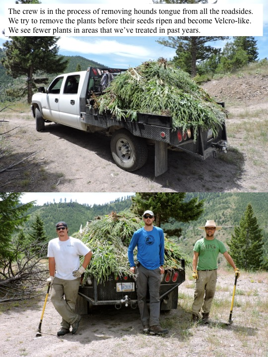 The crew is in the process of removing hounds tongue from all the roadsides. We try to remove the plants before their seeds ripen and become Velcro-like. We see fewer plants in areas that we've treated in past years.