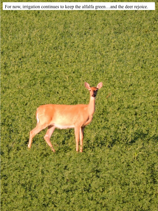 For now, irrigations continues to keep the alfalfa green…and the deer rejoice.