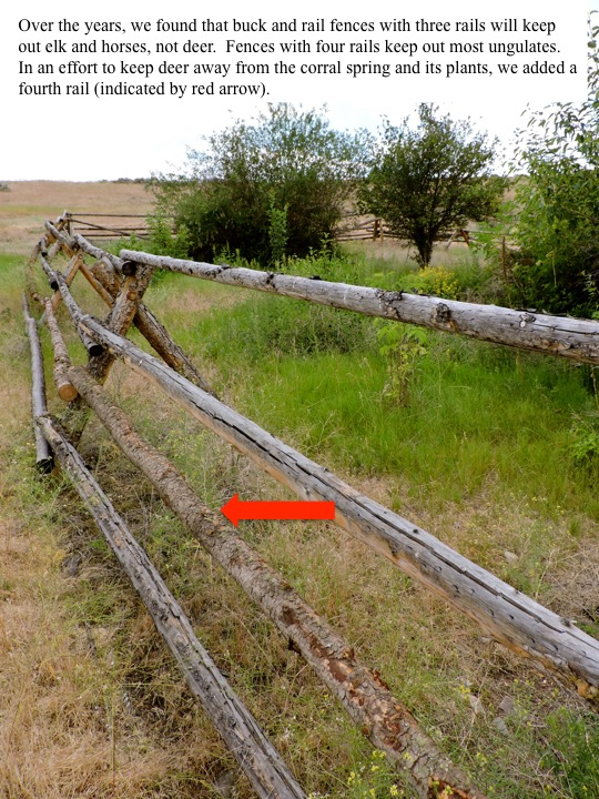 Over the years, we found that buck and rail fences with three rails will keep out elk and horses, not deer. Fences with four rails keep out most ungulates. In an effort to keep deer away from the coral spring and its plants, we added a fourth rail (indicated by red arrow).