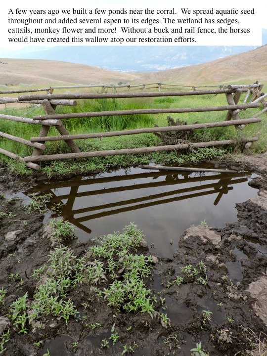 A few years ago we built a few ponds near the coral. We spread aquatic seed throughout and added several aspen to its edges. The wetland has sedges, cattails, monkey flower and more! Without a buck and rail fence, the horses would have created this wallow atop our restoration efforts.