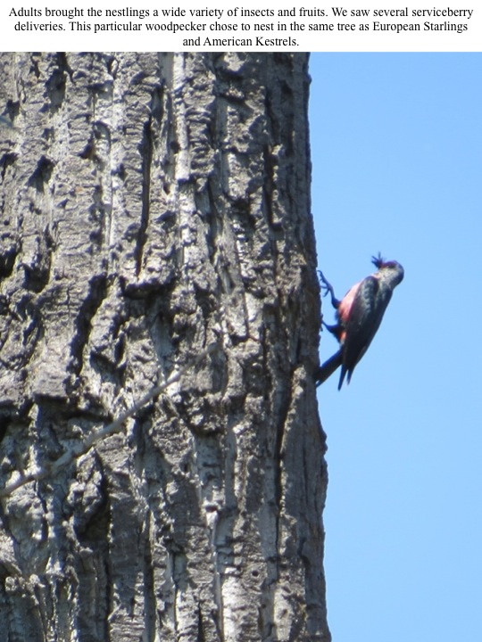 Adults brought the nestlings a wide variety of insects and fruits. We saw several serviceberry deliveries. This particular woodpecker chose to nest in the same tree as European Starlings and American Kestrels.