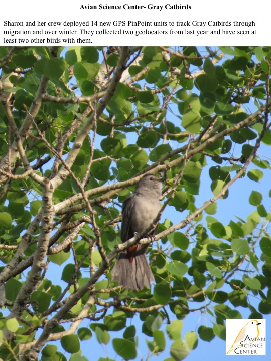 Sharon and her crew deployed 14 new GPS PinPoint units to track Gray Catbirds through migration and over winter. They collected two geolocators from last year and have seen at least two other birds with them.