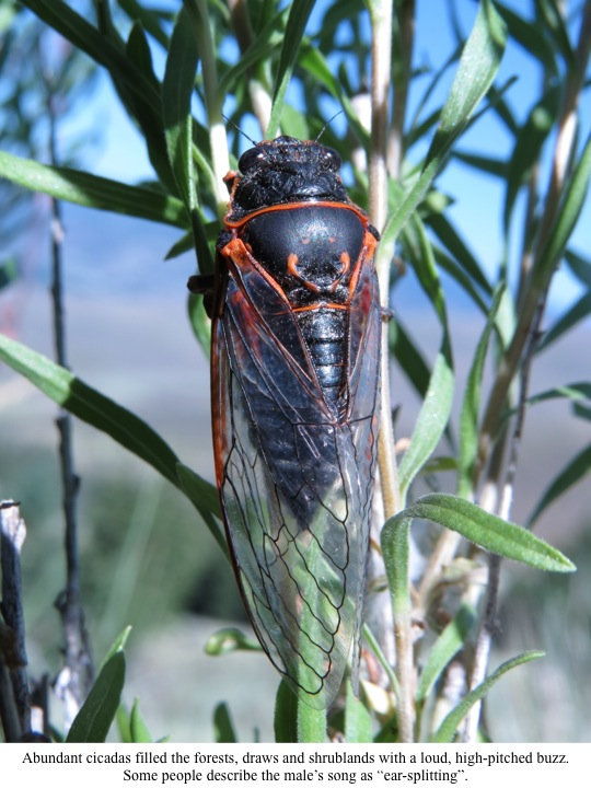 "Abundant cicadas filled the forests, draws and shrublands with a loud, high-pitched buzz. Some people describe the male's song as ""ear-splitting""."