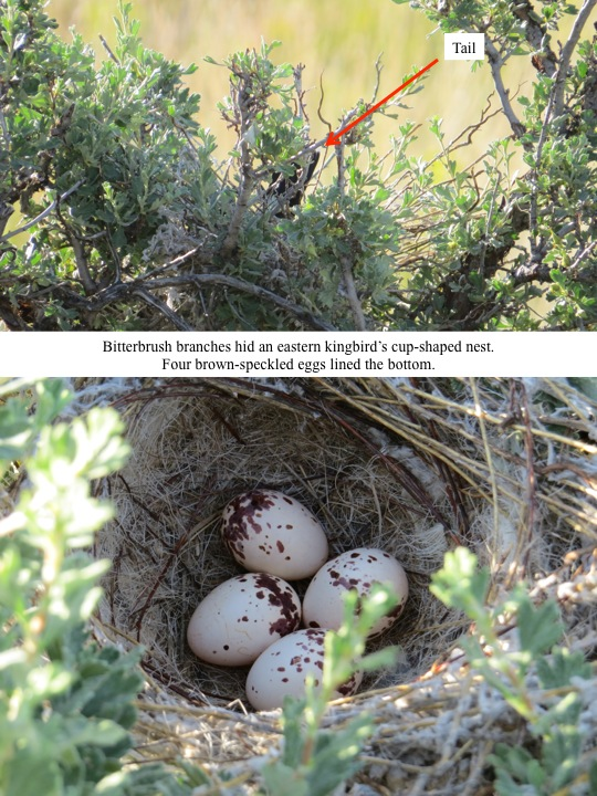 Bitterbrush branches hid an eastern kingbird's cup-shaped nest. Four brown-speckled eggs lined the bottom.
