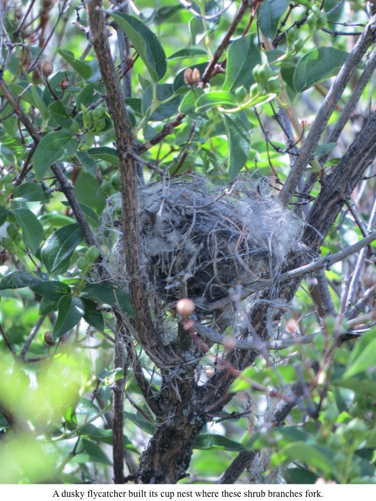 A dusky flycatcher built its cup nest where these shrub branches fork.