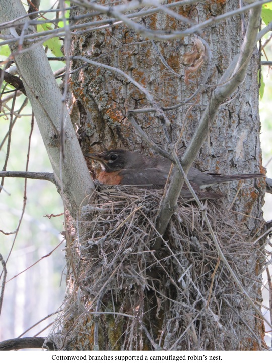 Cottonwood branches supported a camouflaged robin's nest.